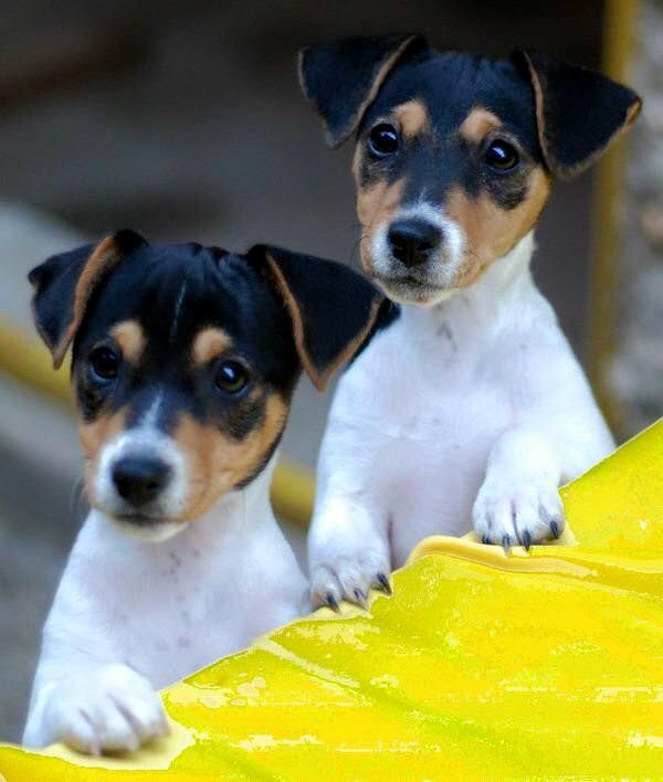 Jack Russell Terrier shared Jack Russell Terrier... - Jack Russell Terrier