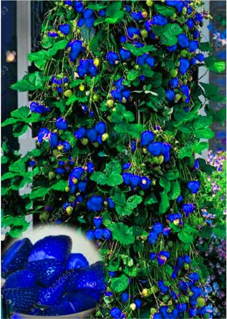 500pcs Blue Climbing Strawberry seeds giant strawberry tree Seeds,very delicious Fruit Seeds For Home & Garden bonsai plant pot
