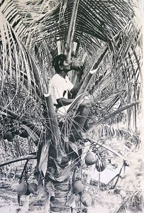 Traditional Use of Coconuts    Learn More About the Traditional Use of Coconuts in  Banaban Society
