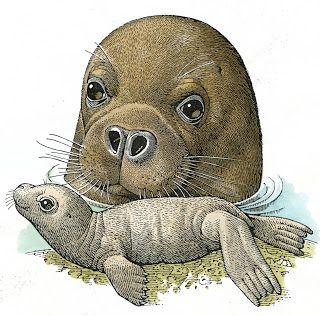 Franco Testa illustration - La foca monaca   #TuscanyAgriturismoGiratola