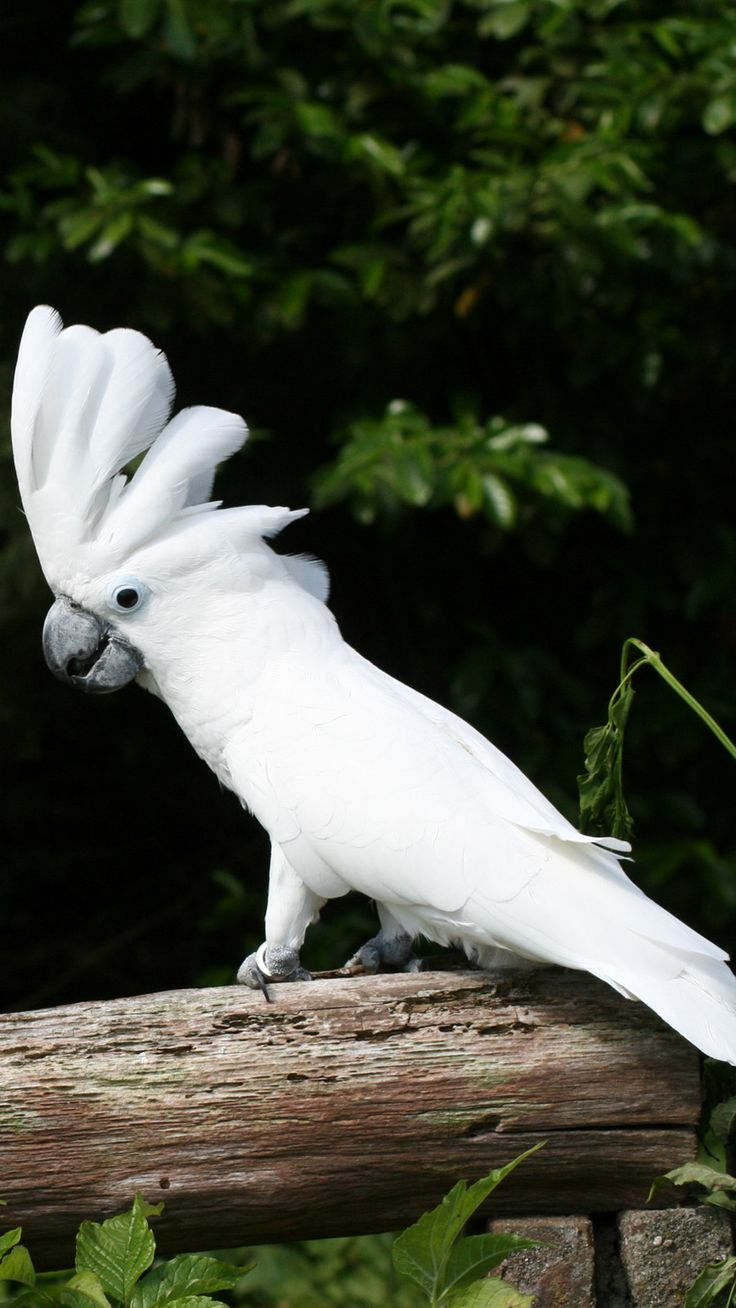 Umbrella cockatoo (Cacatua alba) Indonesia