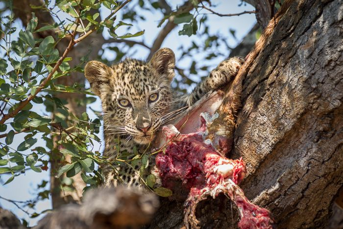Beautiful light and a great photographic opportunity allowed me to hand hold my camera for a good ten minutes waiting to get this shot of the Mashaba female's cub as he locked eyes with us after repositioning and feeding. Running on sheer adrenaline from an incredible sighting of this cub I didn't even notice the weight of the lens. Photograph by Trevor Ryan McCall-Peat