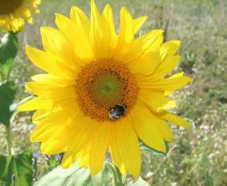 """Sonnenblume – Helianthus annuus Andere Namen : Indianische Sonne Als die Seefahrer die Samen der Sonnenblume mit über den """"grossen Teich"""" brachten, nannte man die Sonnenblume indianische Sonne. Vincent van Gogh war sehr fasziniert von dieser Blume. Seine Sonnenblumenbilder sind weltweit bekannt. Die Sonnenblume ist eine ausgezeichnete Honigpflanze. Volksheilkunde : Tuberkulose, Malaria, Bronchialbeschwerden, Rheuma, Leber – und Gallenbeschwerden, Fieber, […"""