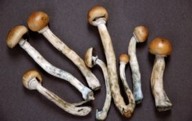 Magic Mushroom Drug Lifts Depression in Human Trial - Scientific American
