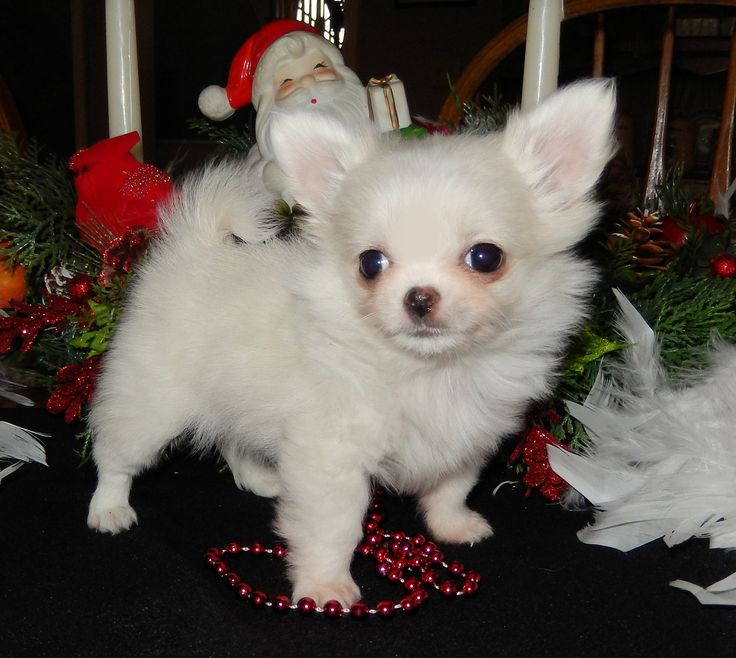 Chihuahua Puppies for sale located close to Chicago Illinois. Northern Indiana Chihuahua Breeder. Show & Pet Chihuahuas, Champion Chihuahuas. Long Coat Chihuahuas. Smooth Coat Chihuahuas. Teacup and Tiny Chihuahuas For Sale.