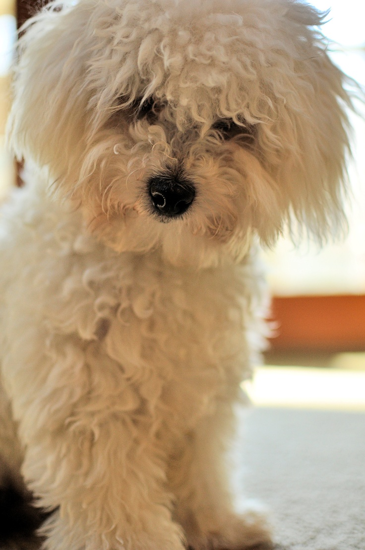 My Bolognese.  This is a breed  from Italy,  a cousin to the Bichon  Frise.   This guy is VERY special :)