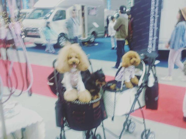 東北キャンピングカーショー お客様ワンちゃん  #犬#dog#dogleash #dogcollar#トイプードル#東北キャンピングカーショー#キエリーズ#kierrys#かわいい#toypoodle by kierrys