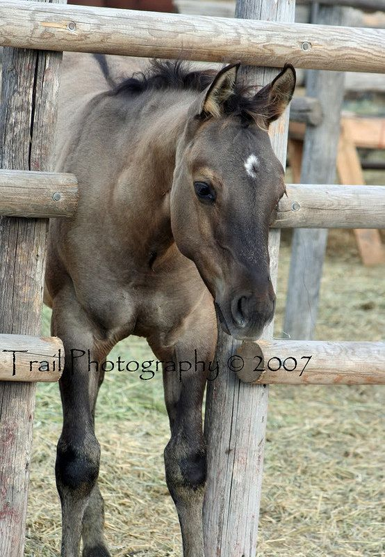 Grulla Quarter Horse Foal (Sage)  Oh my gosh same name as me and my fave horse color!