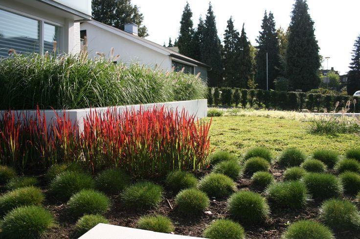 Pennisetum alopecuroides imperata cylindrica red baron en festuca gautieri jardin pinterest - Imperata cylindrica red baron ...