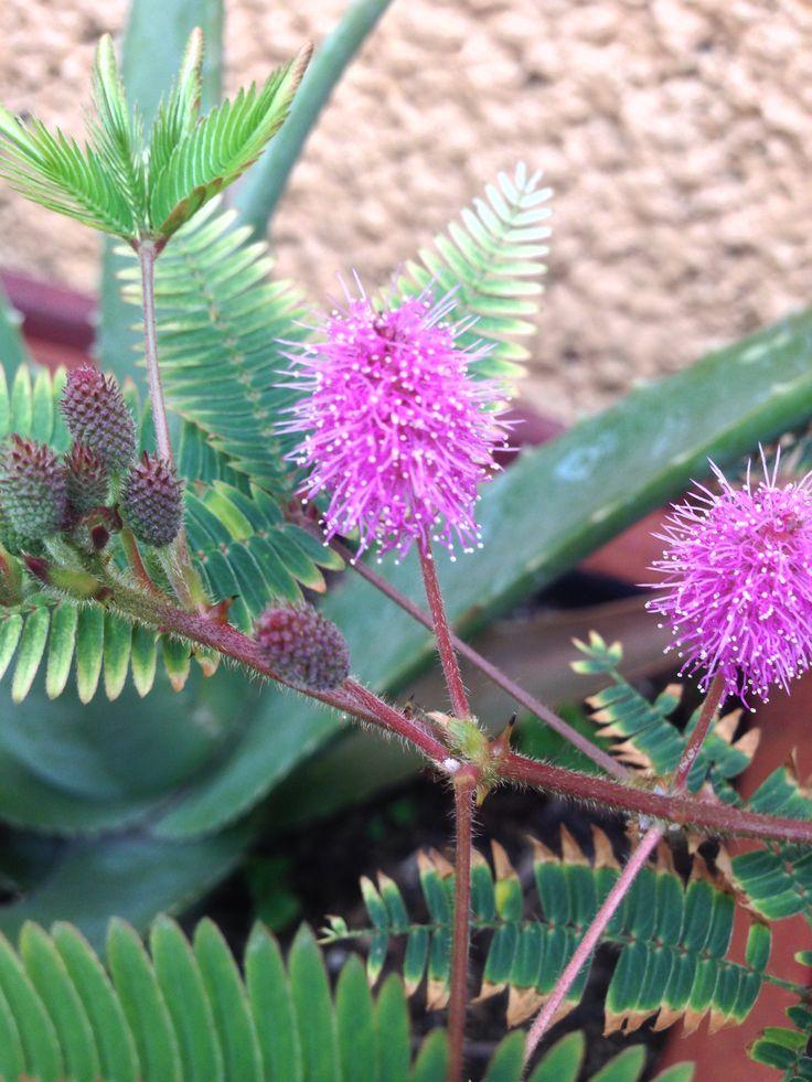 Mimosa Púdica  Una característica muy notable es que al mínimo toque de sus hojas (compuestas por numerosos foliolos) las mismas se contraen sobre el tallo como si se cerraran, con un mecanismo en la base, al mismo tiempo los tallos menores se dejan vencer por el peso