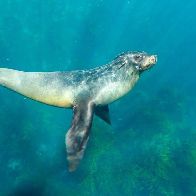 Australian fur seal playing underneath a kayaker via http://buff.ly/1B8LfLI?utm_content=buffer2cddf&utm_medium=social&utm_source=pinterest.com&utm_campaign=buffer #wildlife #tasmania