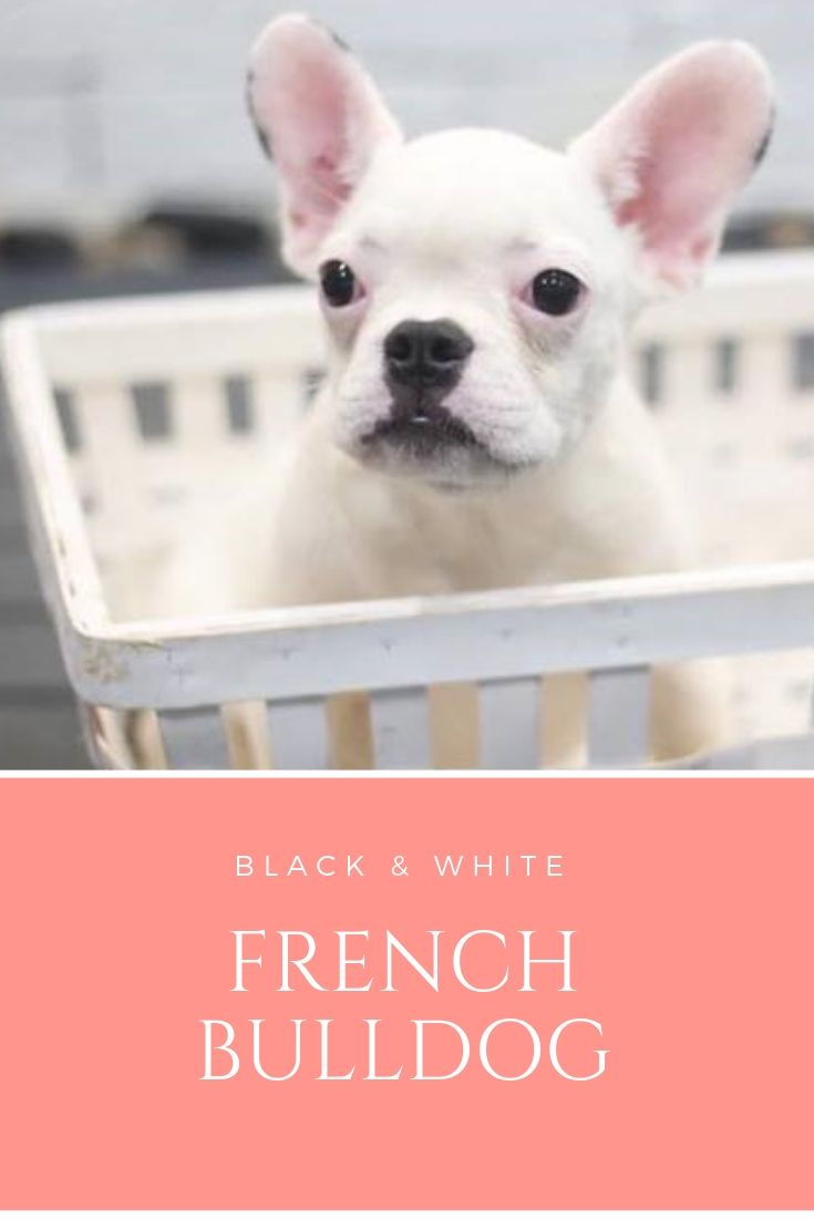 Pin By Puppy Singapore On Different Breed Of Puppies French
