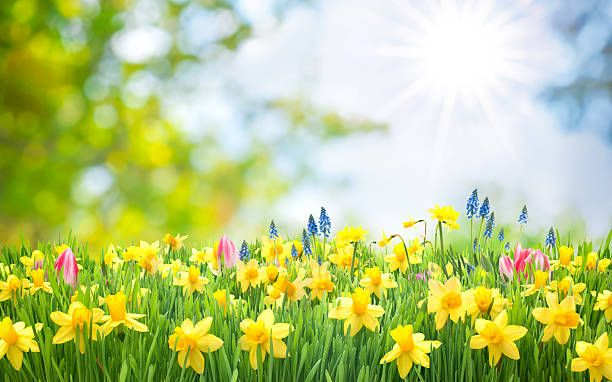 20 Free Easter Backgrounds Images Wallpapers Hd Pictures Download In 2020 Daffodils Background Images Wallpapers Spring Pictures