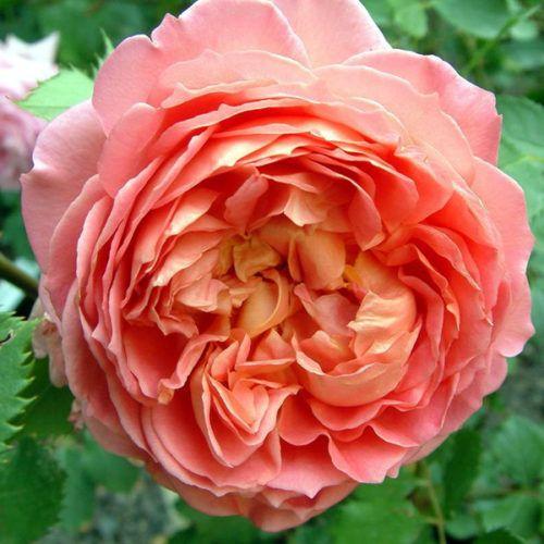 best 25 david austin roses ideas on pinterest austin rose david austin and english roses. Black Bedroom Furniture Sets. Home Design Ideas