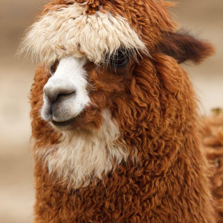 Best Alpaca Love Images On Pinterest Adorable Puppies - 22 hilarious alpaca hairstyles
