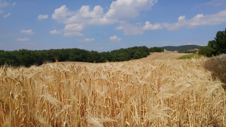 La Foce harvest time in tuscany