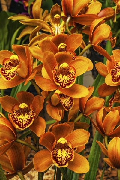 Orange Cymbidium- best choice for outdoor orchid