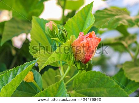 Hibiscus bud - stock photo