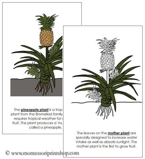 Pineapple Plant Nomenclature Book - illustrates and ...