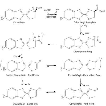 Luciferase - Wikipedia