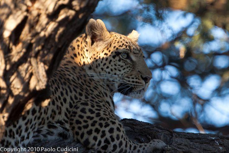 Botswana,Leopard