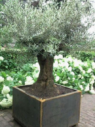 olive tree in a square planter