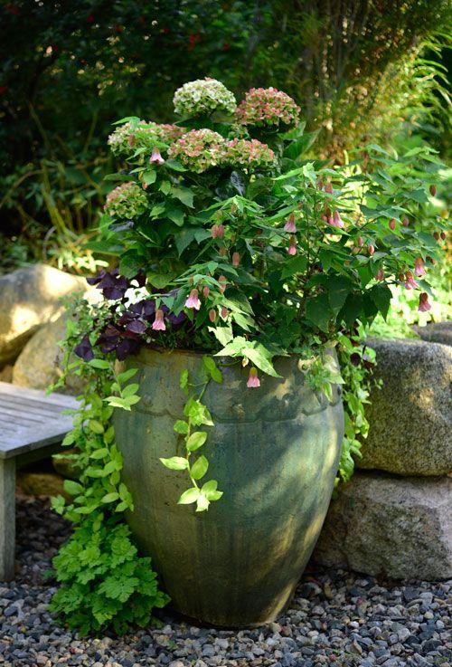 The California Hydrangea Pot Has Aged Gracefully. While The Ornamental  Oregano U0027Kent Beautyu0027 Had A Great Showing All Through July Into U2026 | Shade  Garden ...