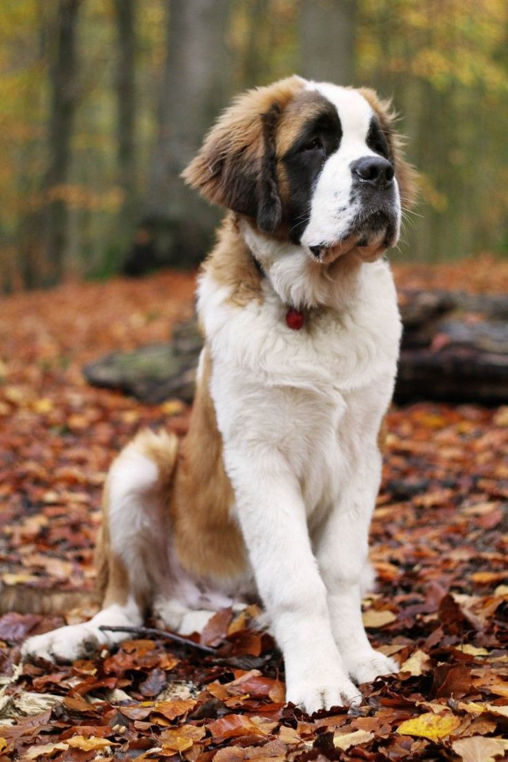 St.Bernard -- Look to see if your favorite pup with be featured as a new spirit hood. Only at www.spirithoods.com! Photo by: Anna Ravn