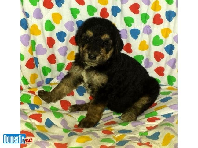 PAMELA: $1195, Female, Black and Tan, Airedoodle, born 3-10-16 I have been breeding Giant Airedale Terriers for almost 11 years. Love the breed. Giant Airedales are also known as ...