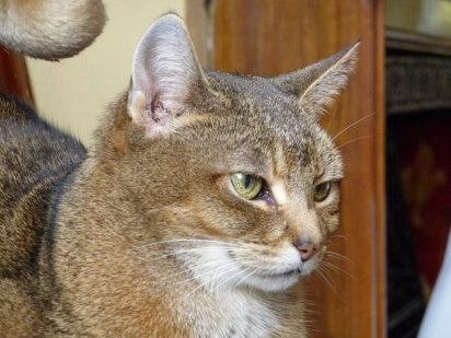 Abisinio, mirada llena de curiosidad | Cuidar de tu mascota es facilisimo.com