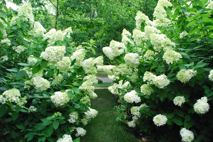 limelight-hydrangea hedges.jpg...beautiful for privacy hedge