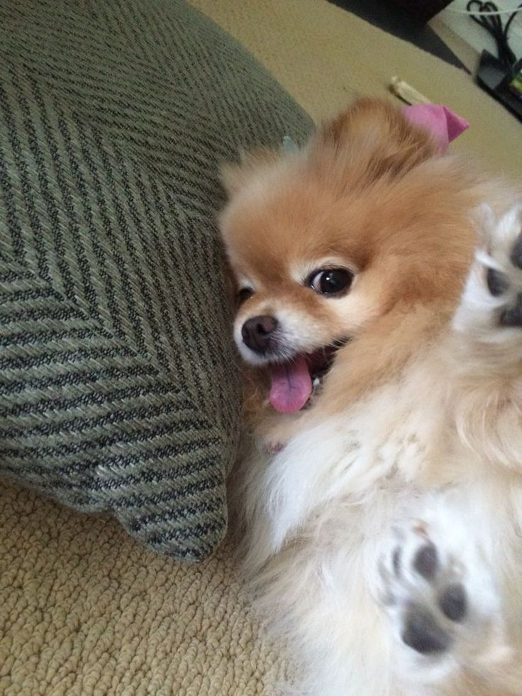 Loving. Playful. Intelligent. Confident personality. These are but a few of the characteristics of beloved Pomeranians.