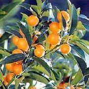Growing kumquat trees from seed is an easy and fun family project. Kumquat trees are normally grown through grafting, though seed germination is possible. Kumquat trees are best grown in zones 8 or higher, but they do make excellent indoor container plants. Expect a kumquat tree about five feet tall. It is possible to get fruit within 5 to 7 years!...