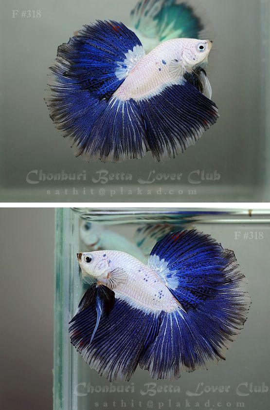 216 best beautiful betta 39 s images on pinterest fish for Purple betta fish for sale