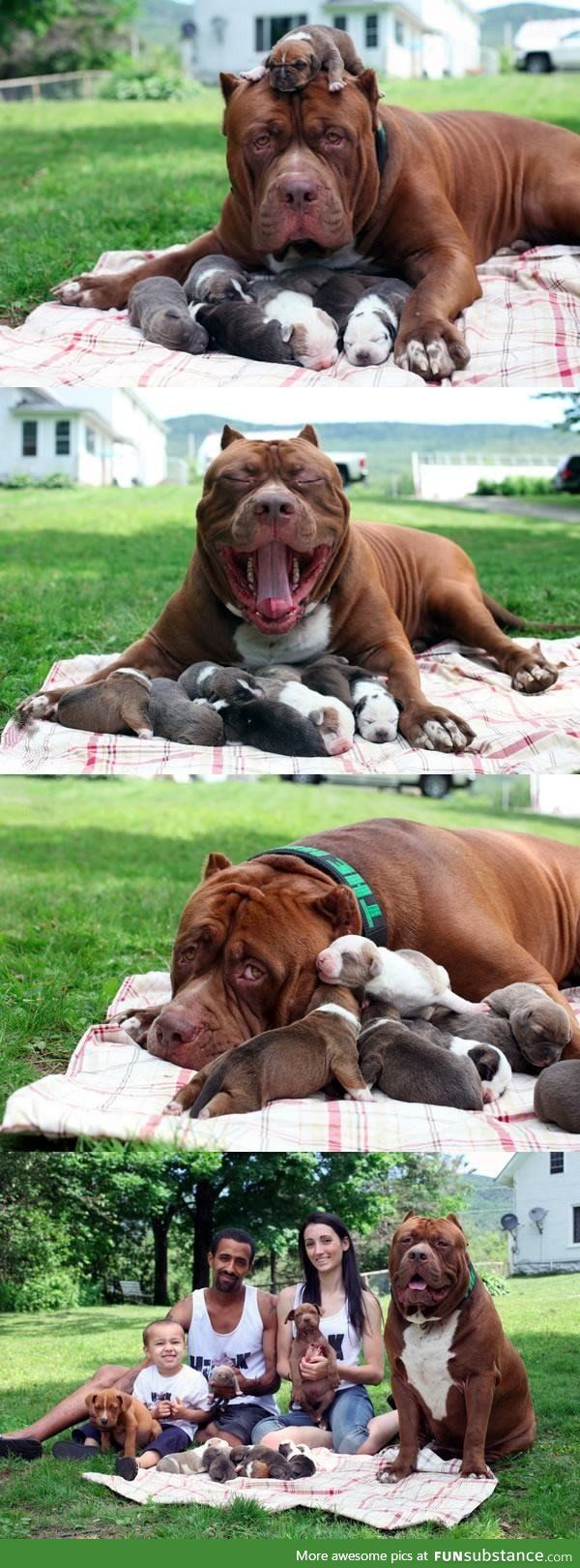Hulk, the world's biggest pitbull is a proud father now