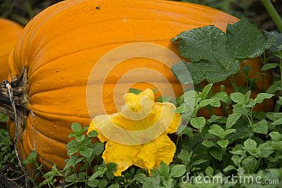 Large pumpkin with blossom resting in the field.  Ready to be picked for…