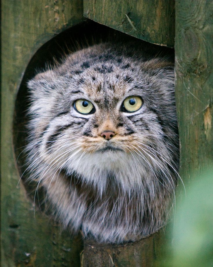 Manul otherwise known as Pallas's Cat.  About twelve million years ago it was one of the first two modern cats to evolve and it hasn't changed since. (inspiration for the chishire cat maybe?)