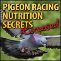 As the table below shows, the major part of what we feed our pigeons consists of carbohydrates. A pigeon's digestive system changes the carbohydrates of the maize, wheat and peas […]