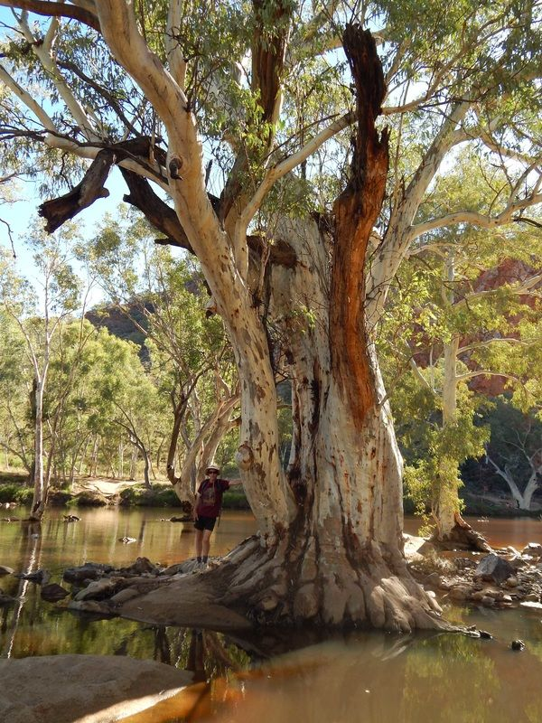 Image result for giant eucalyptus gum photo