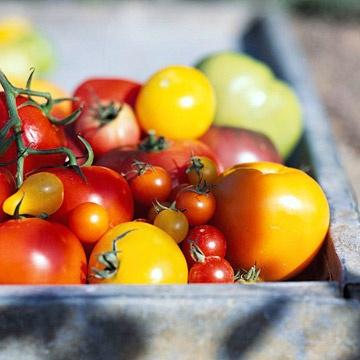 Grow Colorful VegetablesBetter Growing, Gardens Tomatoes, Vegetables Gardens, Growing Tomatoes, Gardens Vegetables, Tomatoes Growing, Growing Colors, Colors Vegetables, Gardening Vegetables