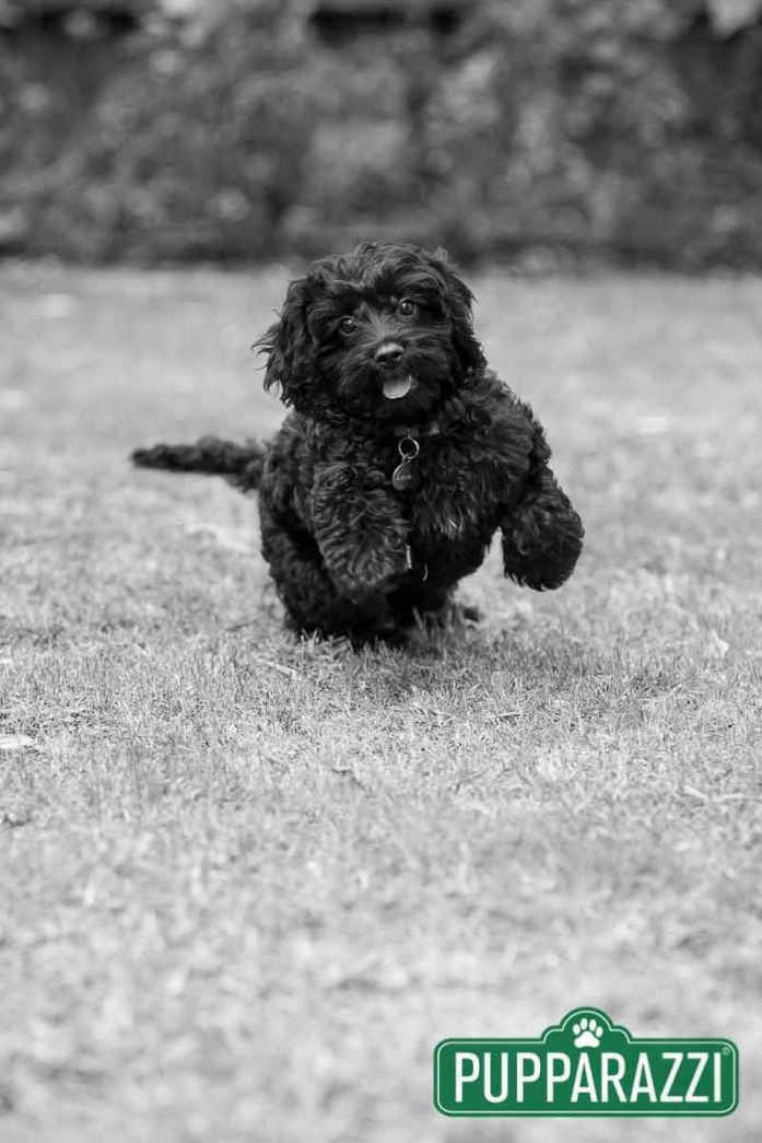 Lucia The Black Cavoodle Puppy By Melbourne Pet Photographers Pupparazzi Read More At Https Www Pupparazzi Com Au Luci Black Puppy Pet Photographer Puppies