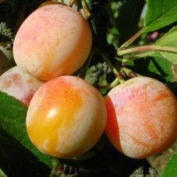 Plum Tree - Mirabelle de Nancy x1
