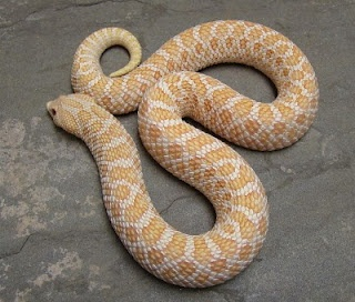 Albino Hognose Snake  Photo From Shores Enuff Snakes