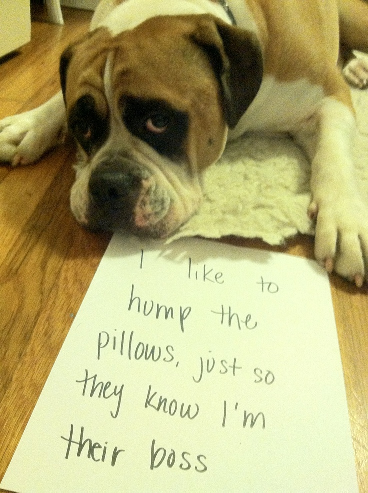 Henry The Humper I Like To Hump The Pillows So They Know I M Their Boss Dog Shaming Bad Dog Funny Animals