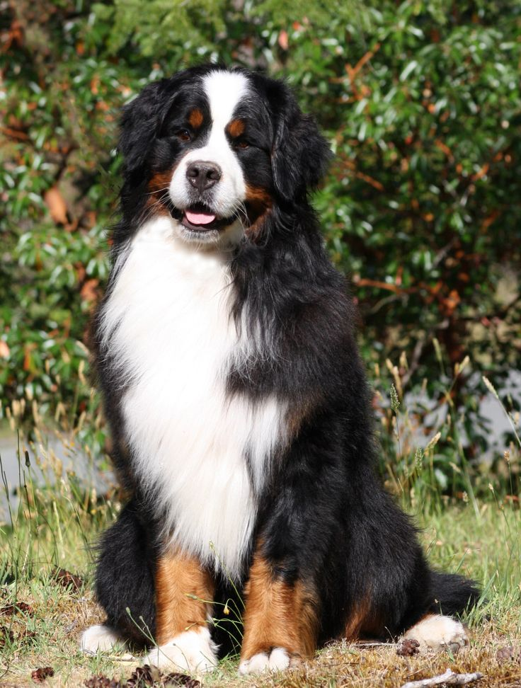 Bernese Mountain Dog, these dogs are so beautiful... One day I'll have a big ol cuddley dog like this! Great family dogs