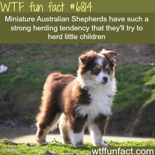 Mini Australian Shepherds - WTF fun fact | Follow @gwylio0148 or visit http://gwyl.io/ for more diy/kids/pets videos