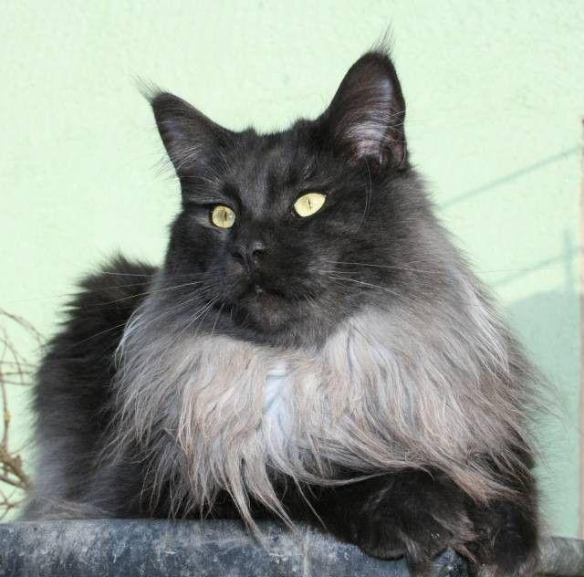 45 best magnificent maine coon cats gt