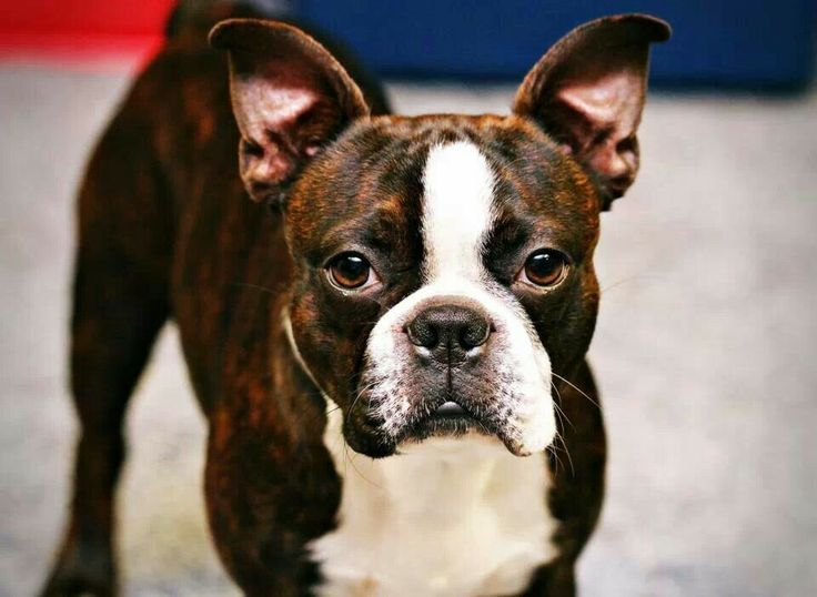 boston terrier brindle 25 best ideas about brindle boston terrier on pinterest 567