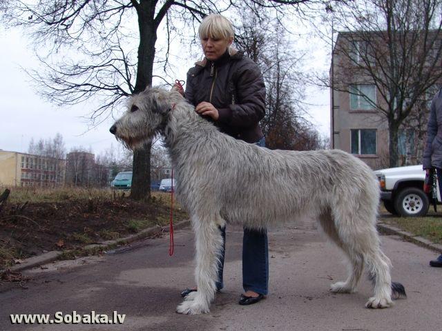 собаки породы ирландский волкодав: 21 тыс изображений найдено в Яндекс.Картинках