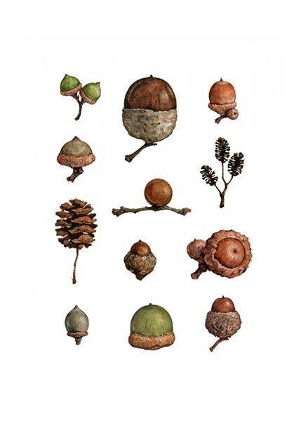 """Acorns-5x7"""" Print from Watercolor   8X10"""" White Mat $20 Acorns of different shapes, sizes and colors, each with their own personality. Picked up on walks and hikes, painted life size. Signed and dated. Printed with high quality, archival paper and inks. Packaged in a clear acid free sleeve with backing."""